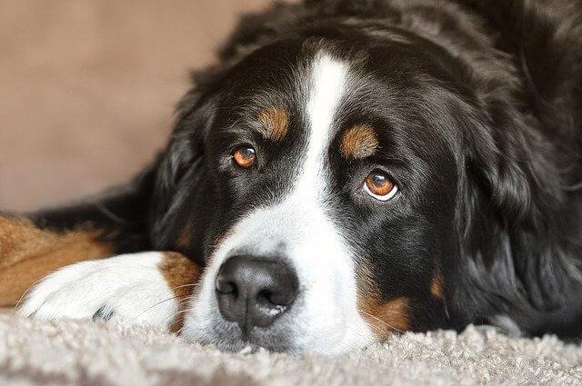 Jak widzi pies rasy berneński pies pasterski