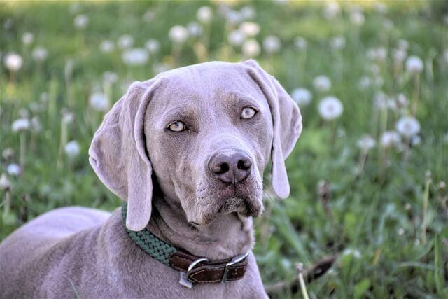 Jak widzi pies rasy dog szary