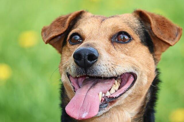 Oczy psa o czarno brązowym umaszczeniu